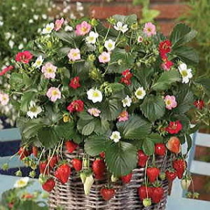Grow strawberries from seed in containers!