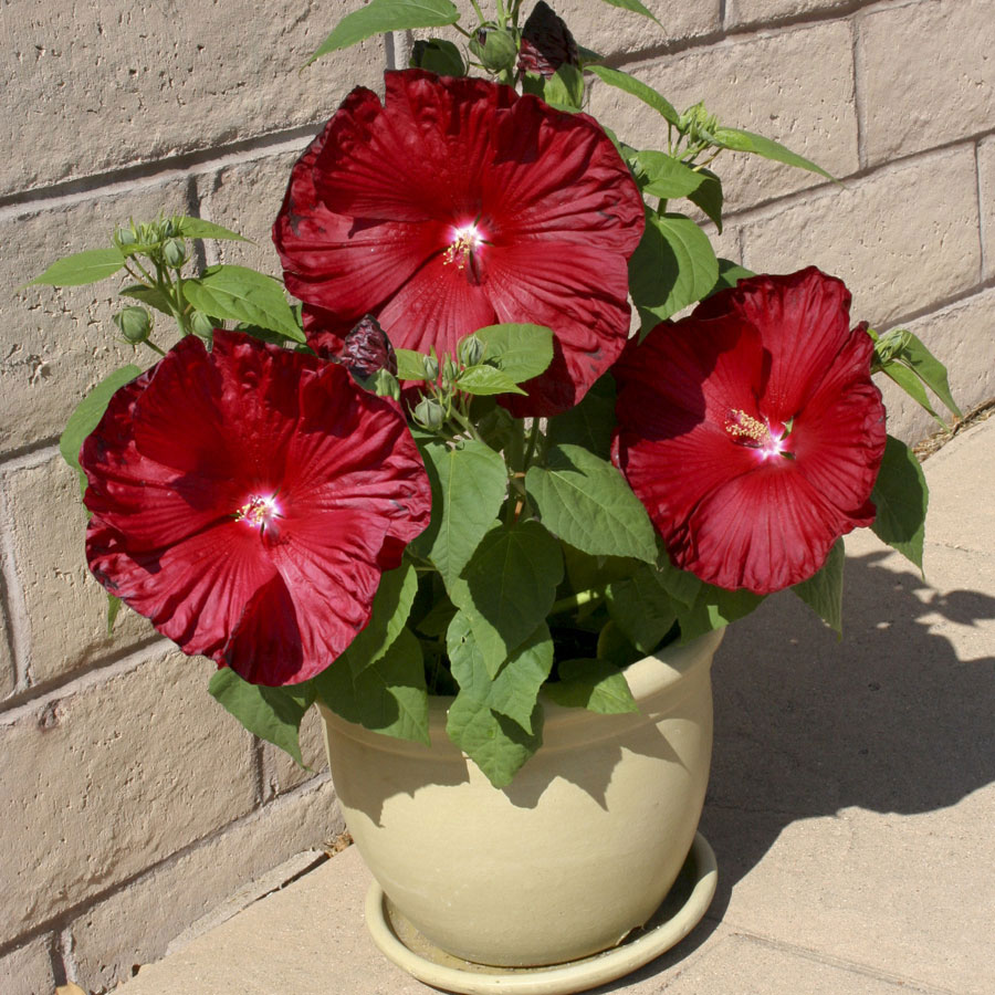 Try New Hibiscus Honeymoon From Seed This Spring
