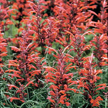 Giant Hyssop is a native species, meaning that its seeds will grow a plant identical to its parent.