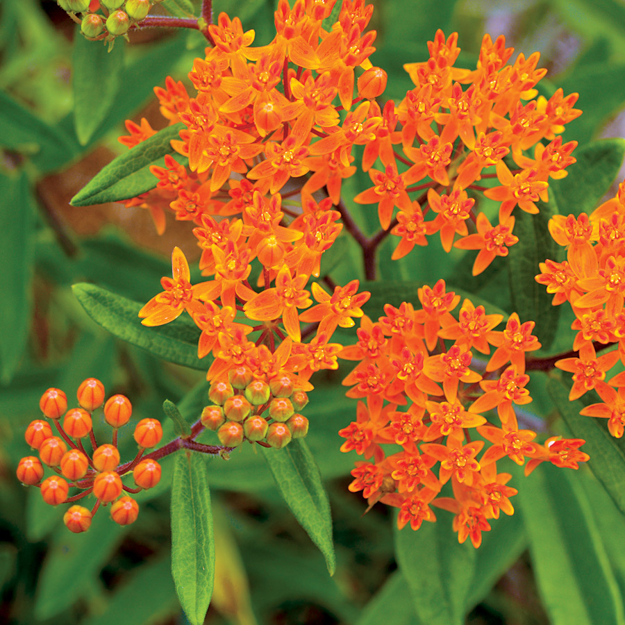 Plants Native To Hawaii: Native American Plants: Species And Cultivars