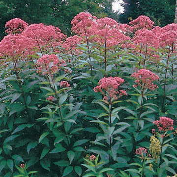 Up to 7 feet high and covered in blooms, native Joe-Pye is the glory of the autumn garden!