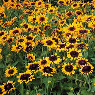 Bred for enormous flower size on compact plants, Denver Daisy takes Black-eyed Susan to a whole new pop-eyed level!
