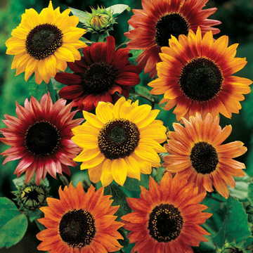 Yes, you definitely have time to grow big, glorious Sunflowers from a June sowing!
