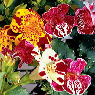 Bold, wildly patterned Mimulus blooms are the butterflies' favorites!