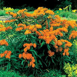 Butterfly Weed grows like crazy and spreads freely, so plant it where you can contain it or welcome its new colonies each spring!