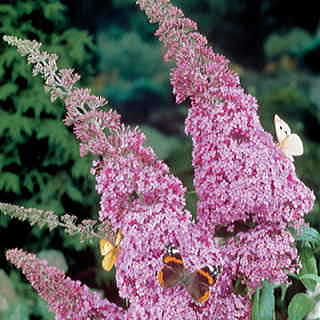 Butterfly Bush is fragrant, colorful, and elegant, with arching spires of bright blooms that grow in no time!