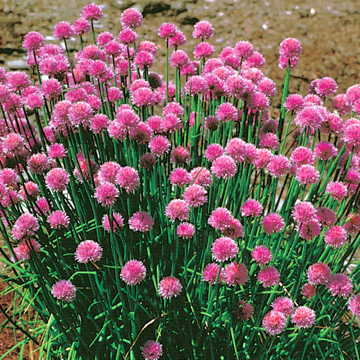 Pretty as a picture, chives keeps aphids away from the butterfly weed!