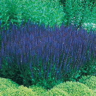 Brilliant blue sage is the perfect companion to butterfly weed in the sunny perennial border!