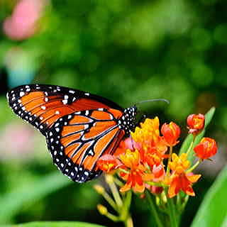 Monarchs depend on Asclepias for laying eggs and feeding themselves during the caterpillar stage