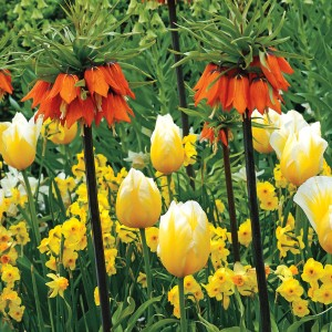 Towering over the tulips and leaving the daffodils as mere groundhuggers, Crown Imperial asserts its authority in the spring bulb garden.