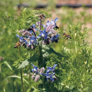 Borage is a magnet for beneficial bees, repels tomato hornworms, and is as beautiful as it is useful.