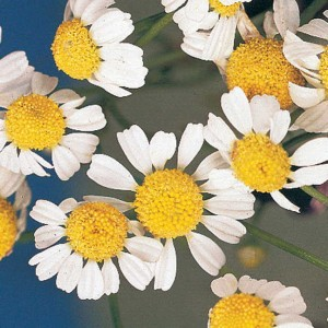 German Chamomile seems to make its neighbors grow better . . . and its blooms aren't too shabby, either!