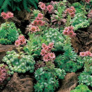 """This is an unusual """"in bloom"""" shot of Hens and Chicks. Usually it looks more spreading and groundhugging, with new little rosettes (""""chicks"""") venturing out from the parent plants (""""hens"""")."""