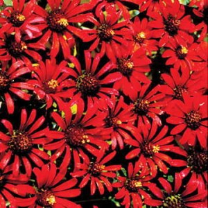 Not all Zinnias are big plants with double blooms. Red Spider, for instance, is a less common species with a petite habit and masses of bright, wispy daisies!