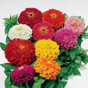 """Park's Picks Mix is a showstopper with 4-5"""" double blooms in the richest of colors!"""
