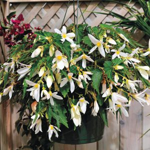 Santa Barbara is the latest of the stunning B. boliviensis varieties from seed. Pair it with ANYTHING -- those white blooms just make all the others look brighter and fresher!