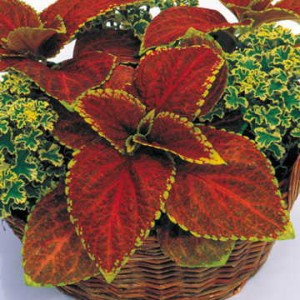 All of the Grand Exhibition Coleus varieties are striking, but for my money, Rustic Red tops them all. Those serrated chartreuse edges! That unique russet shade! --Yeah, I can't resist a good Coleus.