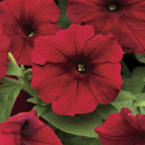 Much more than a pretty face, Easy Wave Red Velour suppresses weeds and attracts pollinators.
