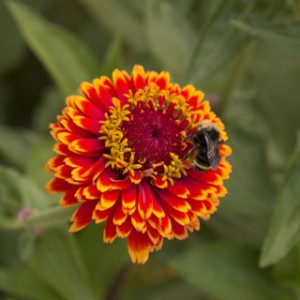 Like all Zinnias, Crouching Tiger is a magnet for pollinators. Grow it among your tomatoes and cabbages to bring in insect-gobbling ladybugs and hummingbirds, too!