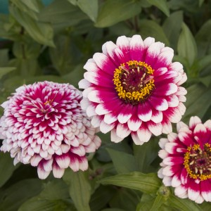 Zinnia Hidden Dragon begins its bloom as a white-tipped carmine daisy, then adds layers of petals that cover the carmine and even eventually hide the yellow eye!