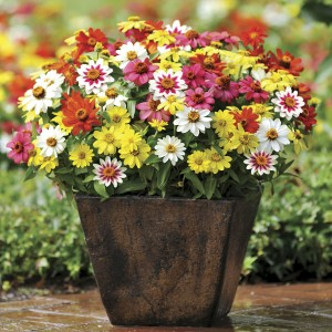 The Zaharas are as ornamental as they are useful! Cut all you like, or grow them just for the masses of blooms they will bring your sunny garden!