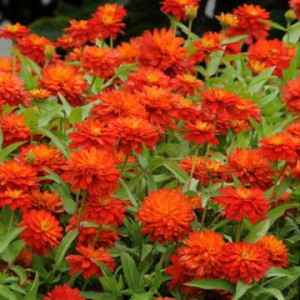 Zahara Double Fire is a low-growing bedding zinnia with superb mildew resistance in any climate.