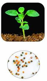 "Notice that the young Thyme seedling doesn't ""creep"" at first, but will soon spread or cascade up to 3 feet!"