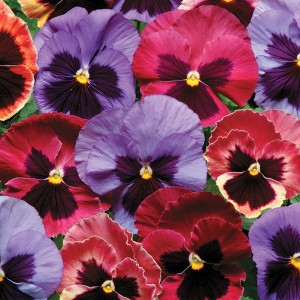 Today's Pansies offer stunning colors to go along with those cheery faces!
