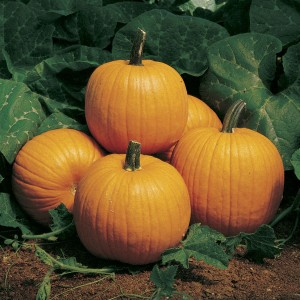 The classic Howden pumpkin is a fabulous squash for dense foliage cover!
