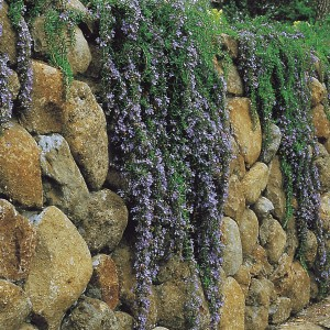 Rosemary is a wonderful companion to Lavender, and this weeping variety looks splendid cascading over walls, rocks, and low fences!
