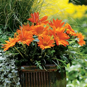 New Day Orange offers big, beautiful blooms that bring in beneficial insects to devour the pepper pests!