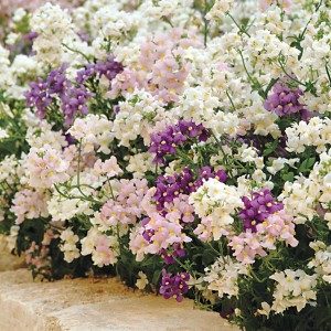 Poetry Mix is a Nemesia heavy on the whites and creams, which are the most fragrant!