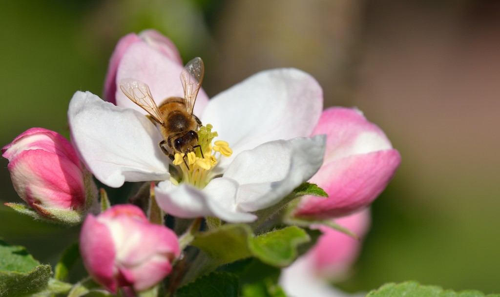 A Busy Bee in an apple blossom