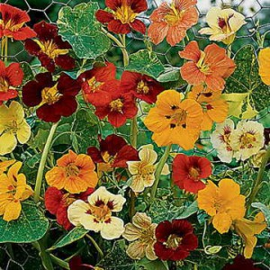 Any nasturtium will do the trick. We love the old favorite Jewel of Africa, currently on sale and so beautiful. (The blooms are edible, by the way!)