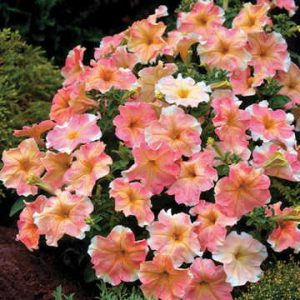 The Dolcissima series of petunias will knock your socks off. This is Flambe; there's also deep pinkish-coral Fragolino. Gardeners report pairing them with geraniums, moon vine, and flowering tobacco.