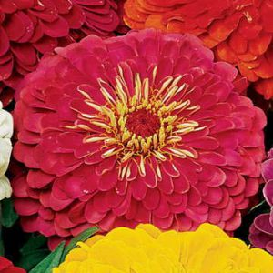 """Park's Pick Zinnias have been bestsellers for 2 decades. Customers use words like """"perfect"""" and """"beauties"""" to describe these massive double blooms."""