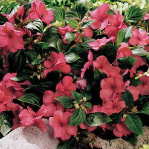 Sunny Lady Salmon Shimmer Impatiens not only puts up with sun, it also makes for inexpensive and easy cuttings. But does it really shimmer? Opinions vary!