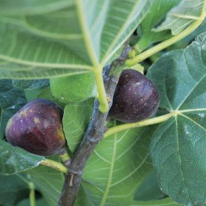 Wasps are responsible for all those succulent figs we love!