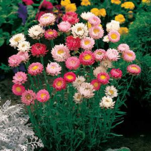 For dried arrangements lasting for months, rely on Paper Daisies!