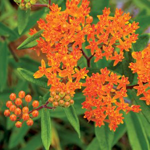 Butterfly Weed (Asclepias) is a friend to hummers as well as butterflies. Easy as pie to grow!