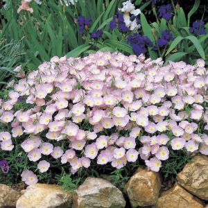 Beautiful Evening Primrose will come true from seed every time!