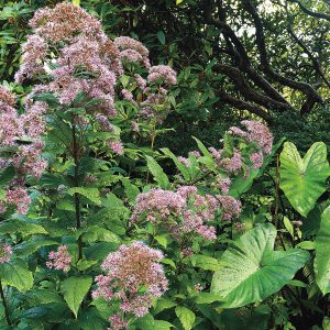 Joe-Pye Weed (Eupatorium) is a native perennial that can reach 7 feet high. Hummers love its nectar and appreciate its shelter.