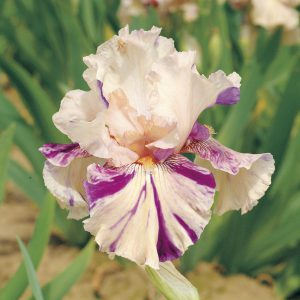Keep these beautiful blooms coming by dividing Tall Bearded Iris every 3 to 5 years.