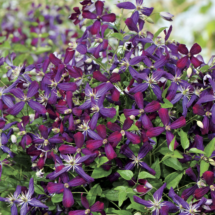 Clematis Vines For Every Gardener - Official Blog of Park Seed