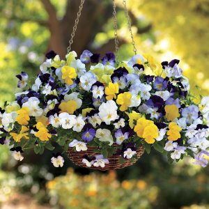 Got an empty hanging basket left over from summer? Fill it with cool-season pansies!
