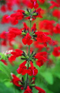 Summer Jewel Red Salvia is a siren call to every hummingbird in the neighborhood. Grow the other colors in the Summer Jewel series too; the hummers will feast on all of them!