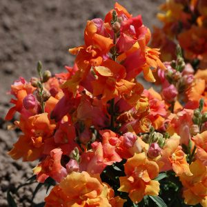 Snapdragon is a lovely cool-season flower, and as a relative of the bean, it's a good soil builder, too!
