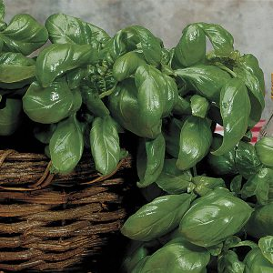 Cut the whole basil plant and harvest, or take cuttings to grow indoors during winter.
