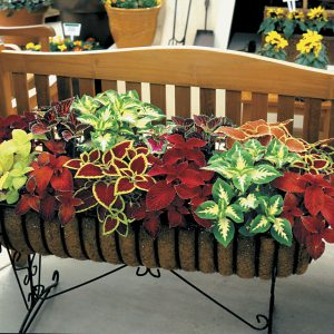 Can't bear to say goodbye to your Coleus? Take cuttings now and enjoy them next year, too!