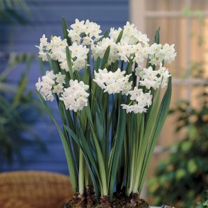 Time your Paperwhites to bloom indoors over the holidays!